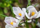 Early spring crocus flowers — Stock Photo