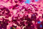 Lilac flower blossom tree — Stock Photo