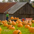 Picking the perfect pumpkin — Stock Photo