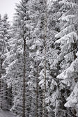 Snow-covered tree branch — Stock Photo