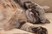 Spící kočka — Stock fotografie