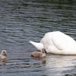 Swan with Cygnets — Stock Photo