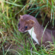 Weasel — Stock Photo #21109159
