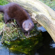 Mink — Stock Photo