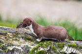 Weasel — Stock Photo