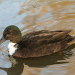 Juvenile Mallard Duck — Stock Photo