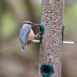 Stock Photo: Nuthatch