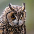 Long Eared Owl - Stock Photo