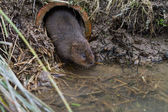 Water Vole — Stock Photo