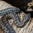 Stock Photo: 2 Adder Snakes