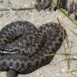 Adder Snake - Stock Photo