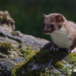 Stoat — Stock Photo