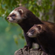 Stock Photo: Mother and young Polecat