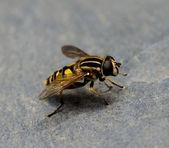 Uçan sineği — Stok fotoğraf