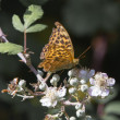 Stock Photo: Silver-washed Fritillary