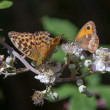 Stock Photo: Silver-washed Fritillary and Gate Keeper butterflies
