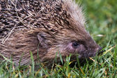 Hedgehog close up — Stock fotografie