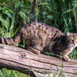 Scottish Wildcat — Stock Photo #31353949
