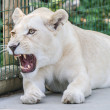 White Lion — Stock Photo #31354967