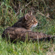 Scottish Wildcat — Stock Photo #31355159