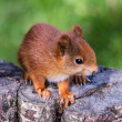 Red Squirrel — Stockfoto