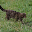 Scottish Wildcat — Stock Photo #31356963