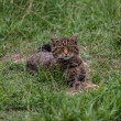 Scottish Wildcat — Stock Photo #31359039