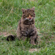 Scottish Wildcat — Stock Photo #31365595