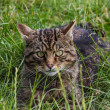 Scottish Wildcat — Foto Stock