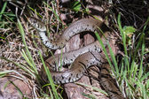 Grass Snake — Stock Photo