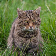 Scottish Wildcat — Stock Photo #31381769