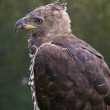 Crowned Eagle — Stock Photo