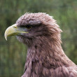 white tailed sea eagle — Stock Photo