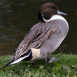 Northern Pintail — Stock Photo #34409501