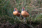 Two Fulvous Whistling Duck — Stock Photo