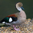 Ringed Teal Duck — Stock Photo #35688835
