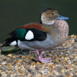 Ringed  Teal Duck — Stock Photo