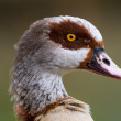 Egyptian goose head — Stock Photo