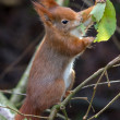 Red Squirrel — Stock Photo #41222305