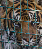 Caged Tiger — Stock Photo