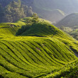 Tea Plantation, Cameron Highland Malaysia - Stock Photo