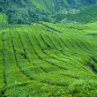 Stock Photo: TePlantation, Cameron Highland Malaysia