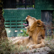 Royalty-Free Stock Photo: Yawning Lion