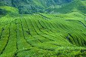 Tea Plantation, Cameron Highland Malaysia — Stock Photo