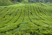 Tea Plantation, Cameron Highland — Stockfoto