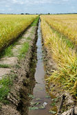 Paddy Field and Ditch, Sekinchan, Malaysia — Stock Photo
