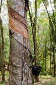 Tapped Rubber Tree, Malaysia — Stock Photo