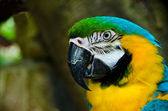 Blue Gold Macaw, Ara ararauna — Stock Photo