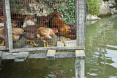 Integrated Chicken Cage above Fish Pond — Stock Photo