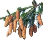 Pine — Stock Photo #13810932